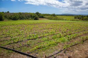 Ernie Wusstig Farm corn fields