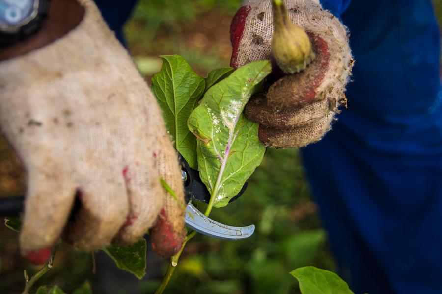 pruning-H
