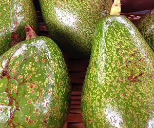 Avocado300px