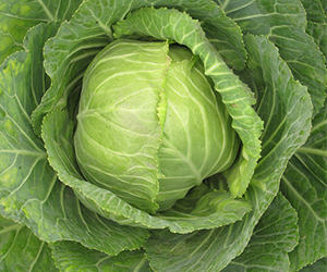 Cabbage-300px