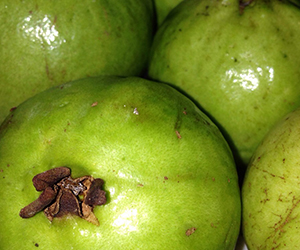 Guava (2)300px
