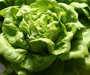 lettuce-bibb-300px