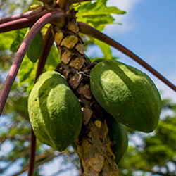 papaya-tree-300px